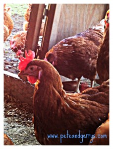 Get to know your farmer and where your food comes from. Here are our organic hens in their winter garden.