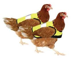 Cluck! Cluck! Safety in numbers