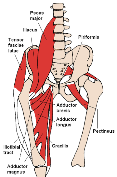 Anterior Hip Muscles (Source Wikipedia)