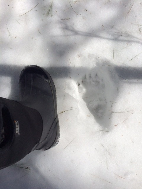The Animals are coming out of hibernation. Check out this bear track next to my 10 year old nieces foot!