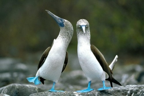 Blue Footed Boobies, image source unknown)